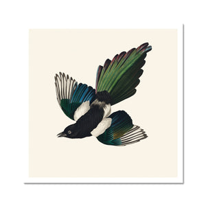 american magpie bird by john james audubon giclee print