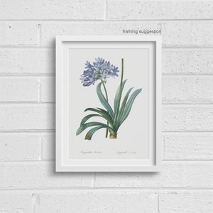 framed print of blue agapanthus flower