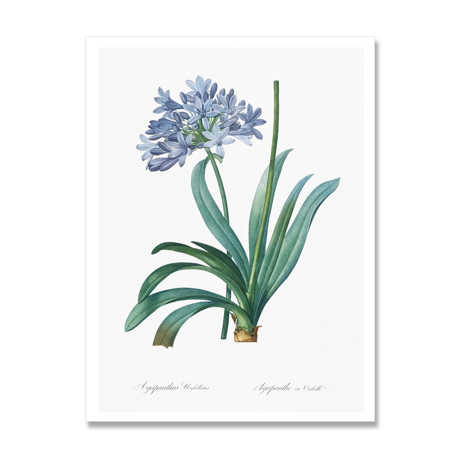 print of blue agapanthus flower
