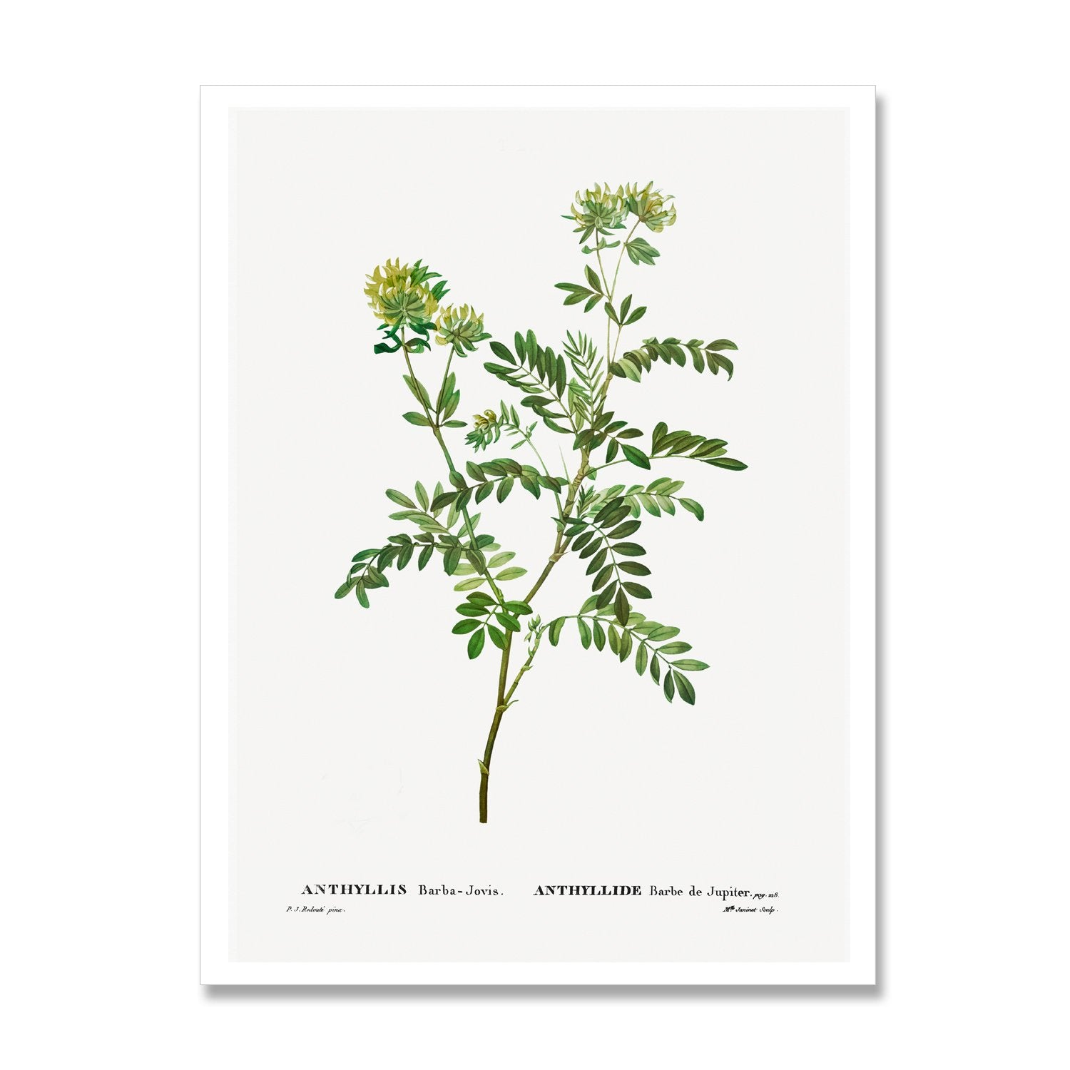 print of anthyllis plant