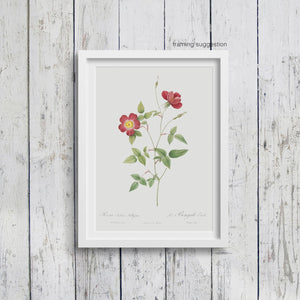 framed art print of red bengal star rose flower