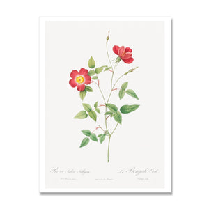 art print of red bengal star rose flower
