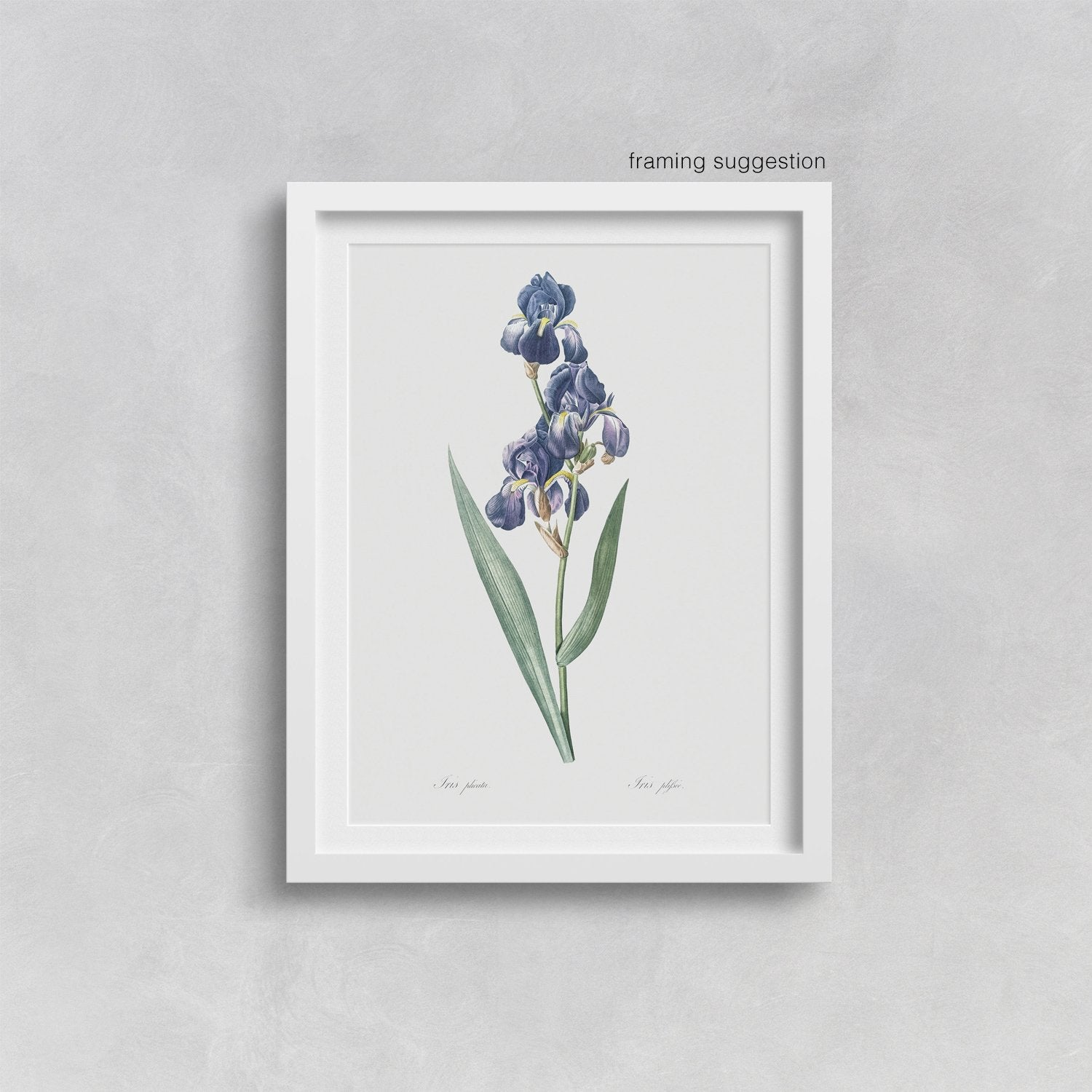 framed botanical art print of iris flower