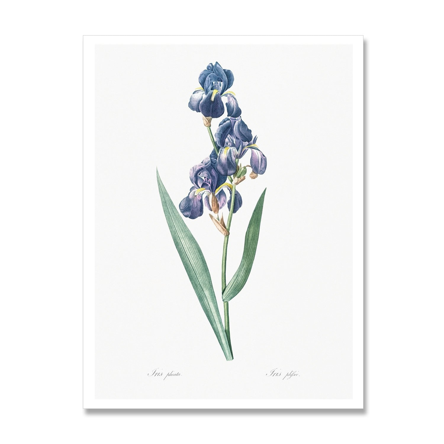 botanical art print of iris flower