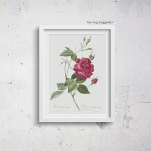 framed botanical rose illustration print