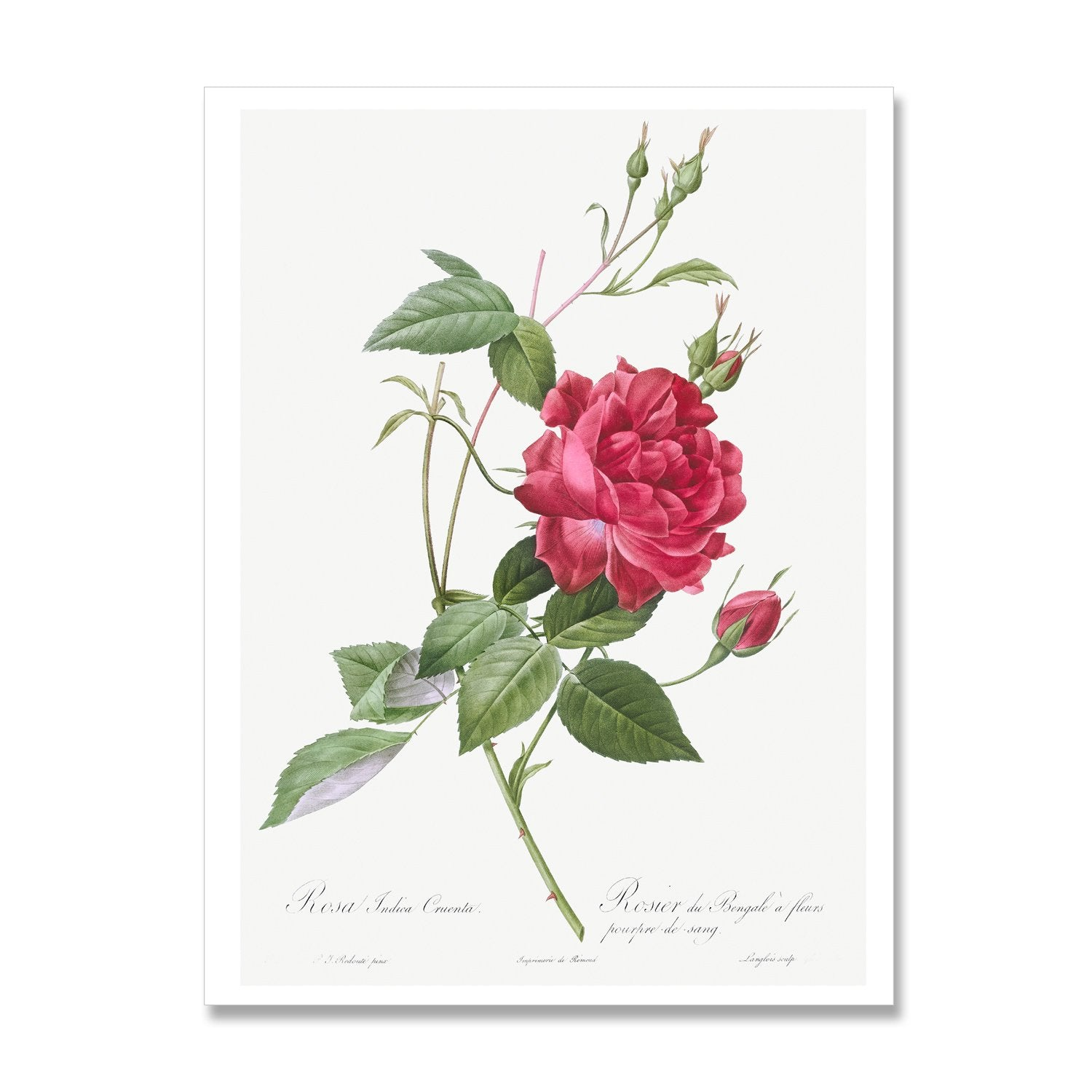 botanical rose illustration print