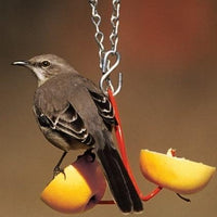 Oriole eating orange slices from Droll Yankees® Fruit Feeder
