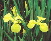 Live Yellow Iris / Iris Pseudacorus (Potted) - Local Pickup Only