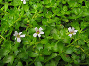 Live Money-Wort Bacopa (Potted) - Local Pickup Only