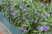 Live Ruellia (Potted) - Local Pickup Only