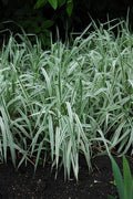 Live Ribbon Grass (Potted) - Local Pickup Only