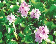 Live Water Hyacinth (Floating) - Local Pickup Only