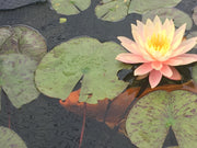 Live Water Lily, Various Colors (Potted) - Local Pickup Only
