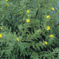 Creeping water primrose treated by Airmax® Pond Logic® Shoreline Defense® Aquatic Herbicide
