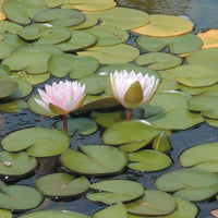 Lily pads treated by Airmax® Pond Logic® Ultra PondWeed Defense® Aquatic Herbicide