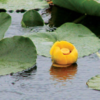 Spatterdock treated by Airmax® Pond Logic® Shoreline Defense® Aquatic Herbicide