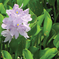 Water hyacinth treated by Airmax® Pond Logic® Ultra PondWeed Defense® Aquatic Herbicide