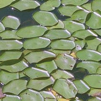 Water shield treated by Airmax® Pond Logic® Ultra PondWeed Defense® Aquatic Herbicide