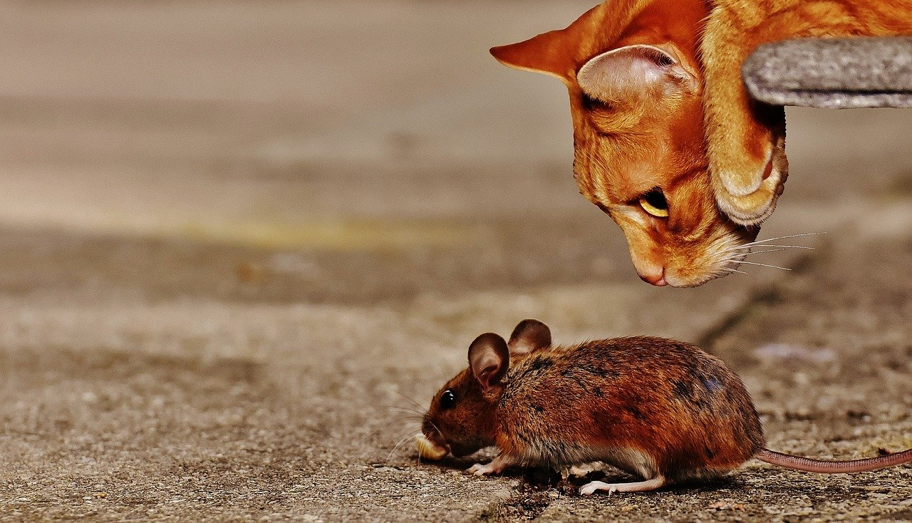 Cat and rodent