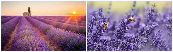 Lavender Fields Luberon Valley_Kristen Baird