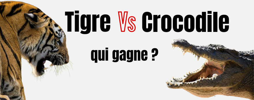 Tigre vs crocodile : qui gagne ?