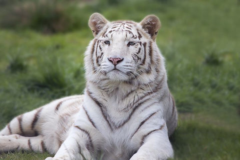Tigre blanc royal