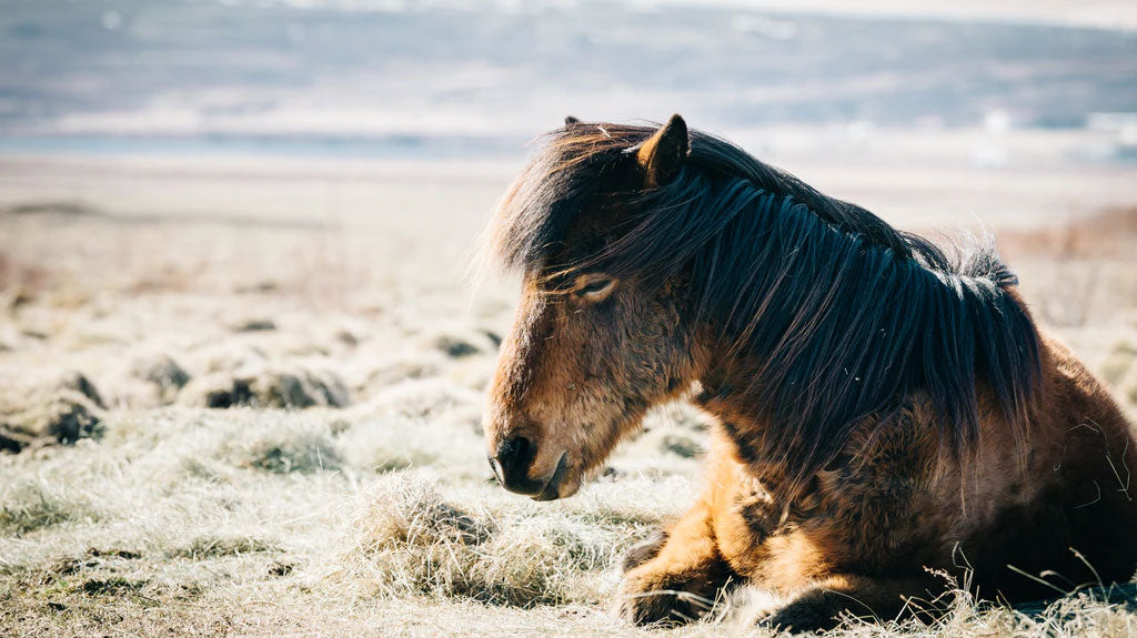 Horse Laying on Beach