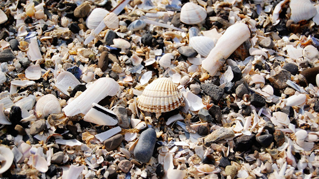Seashells Outer Banks NC Beachcombers Guide