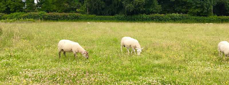 Sheep wild flowers