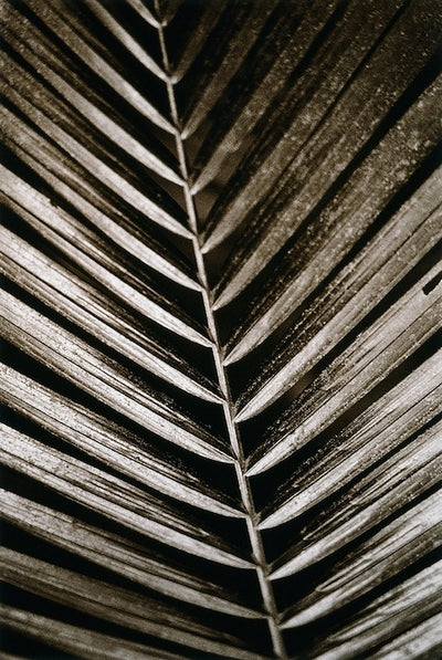 Palm Frond by Cathy Shine