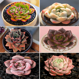 BEST ECHEVERIA SUCCULENTS - SET OF 6