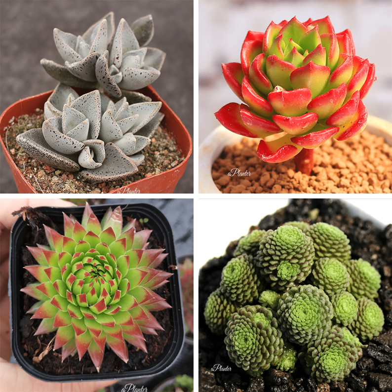 RARE SUCCULENTS BUNDLE DEAL F