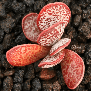 Adromischus Red Rabbit aplanter