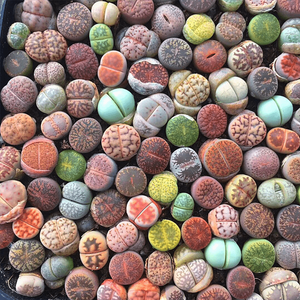 Colorful Lithops ( A Pack Of 9) aplanter