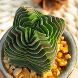 Crassula cv. Buddha's Temple | aplanter