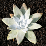 Dudleya Greenei aplanter