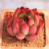 Echeveria Agavoides Cv. Christmas Eve aplanter