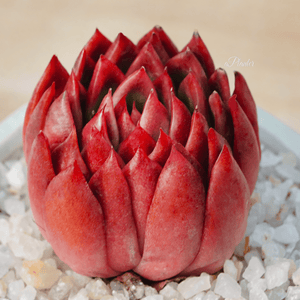 "Echeveria Agavoides ""Red Wax"" aplanter"