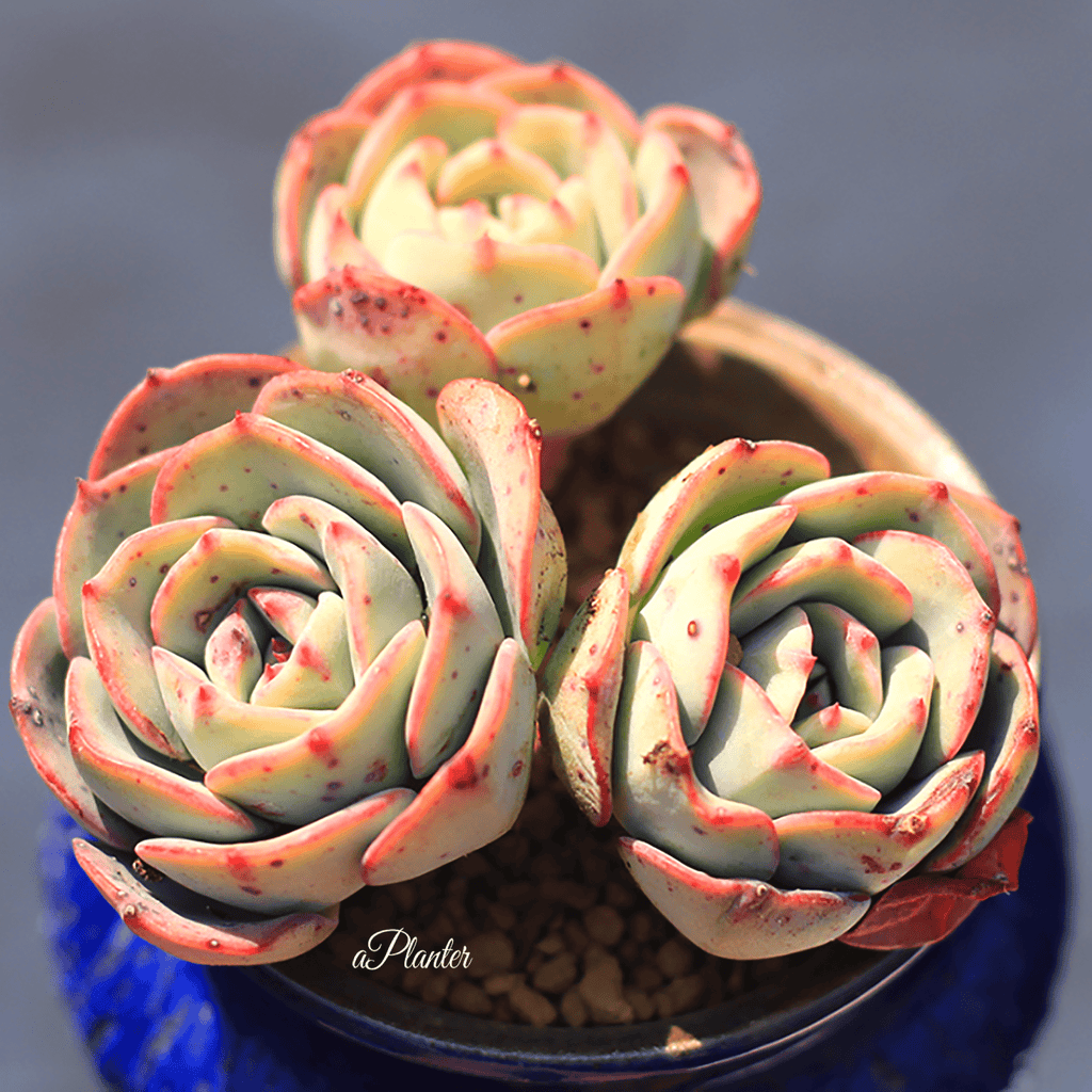 Echeveria 'Atlantis' aplanter