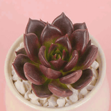 Echeveria 'Black Prince' aplanter