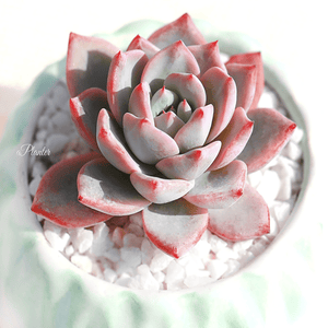Echeveria Blue Bird aplanter