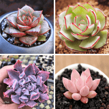 ECHEVERIA BUNDLE DEAL aplanter
