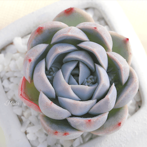 Echeveria Mexican Snowball aplanter