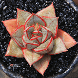 Echeveria Monocerotis aplanter