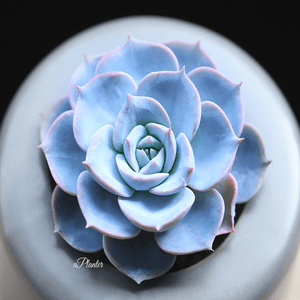 Echeveria Peacockii aplanter