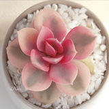Echeveria Rainbow aplanter