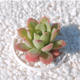 Echeveria sugared aplanter