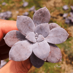 Graptopetalum Superbum Kimnach aplanter