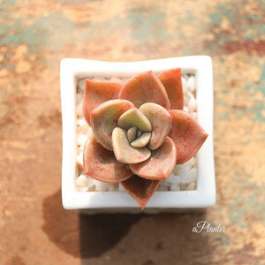 Graptoveria Bainesii aplanter
