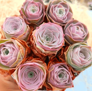 Greenovia Pink Rose Succulents - Special Deal aplanter